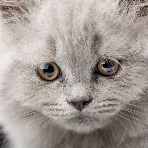 Kooki Cat, Cat Version, Cat Humor, Sad Cat, Persian Cat