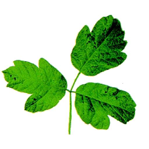 Poison Oak Quiz