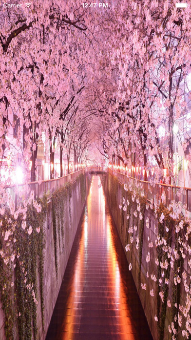 Sakura Flowers Cherry Blossom Wallpaper And Photo Frames Screenshot On IOS